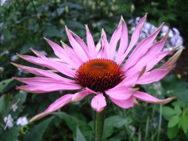 садовые цветы фото 9
