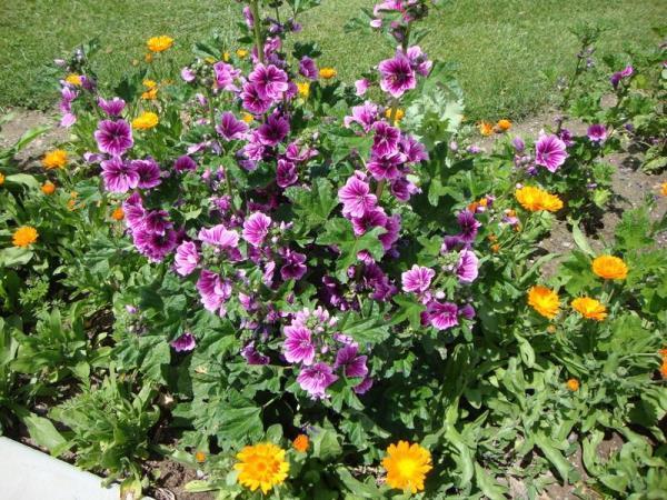 садовые цветы цветущие все лето фото 11
