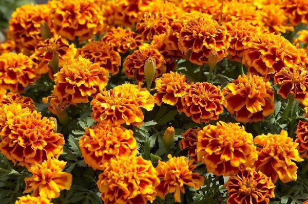 садовые цветы цветущие все лето фото 2