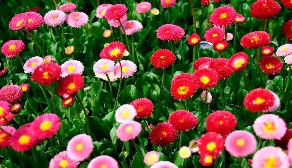 садовые цветы цветущие все лето фото 4