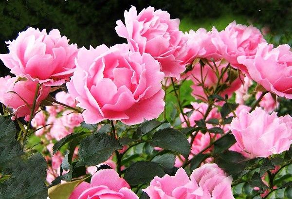 садовые цветы цветущие все лето фото 6