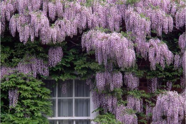 вьющиеся растения для сада фото 11