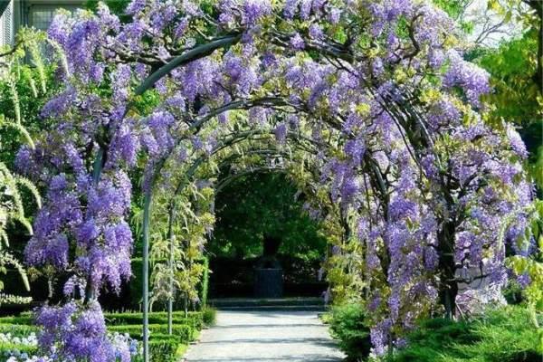 вьющиеся растения для сада фото 12