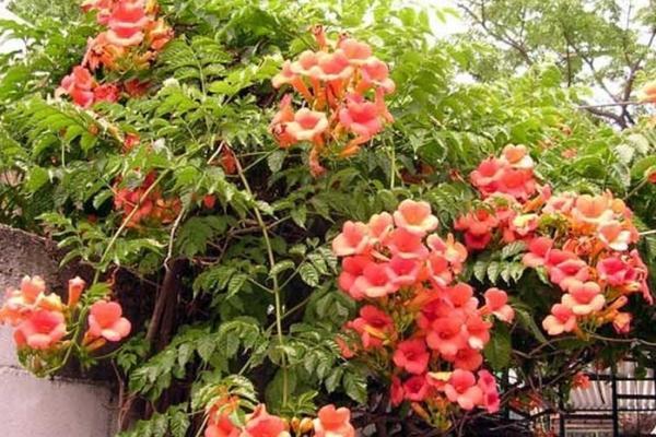 вьющиеся растения для сада фото 13