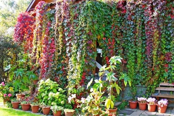 вьющиеся растения для сада фото 15