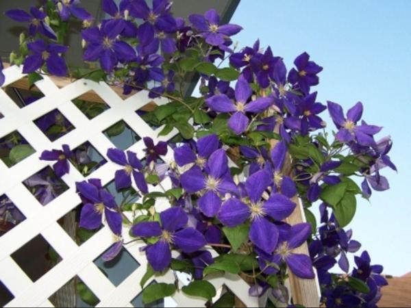 вьющиеся растения для сада фото 5