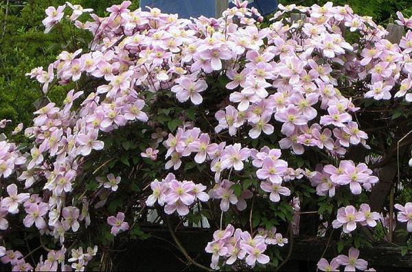 вьющиеся растения для сада фото 7