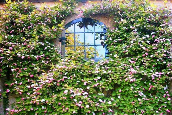 вьющиеся растения для сада фото 8