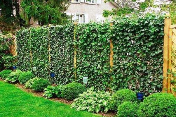вьющиеся растения для сада фото