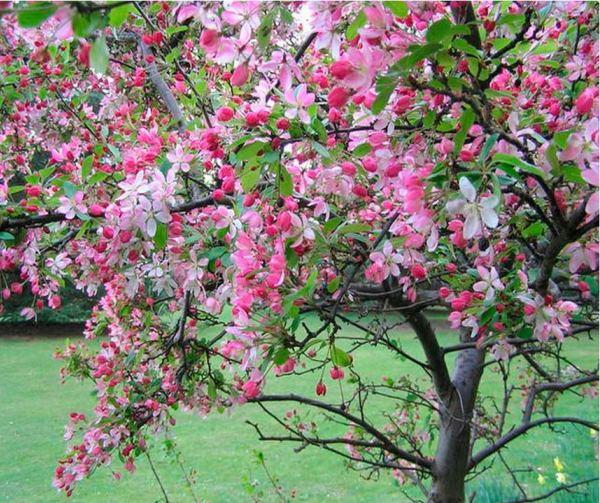 декоративные деревья фото 10