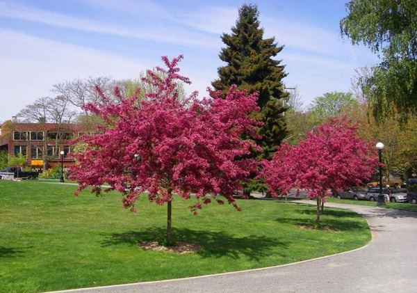 Декоративные деревья фото 3