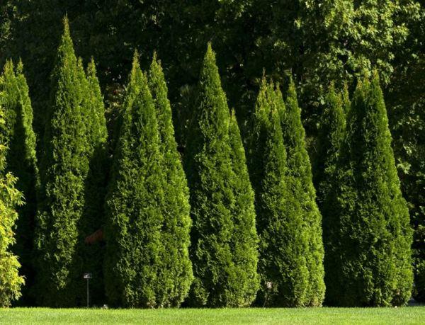 Фото декоративных хвойных деревьев с названиями
