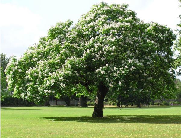 Декоративное дерево катальпа фото