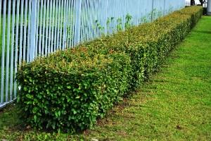 кизильник блестящий живая изгородь фото