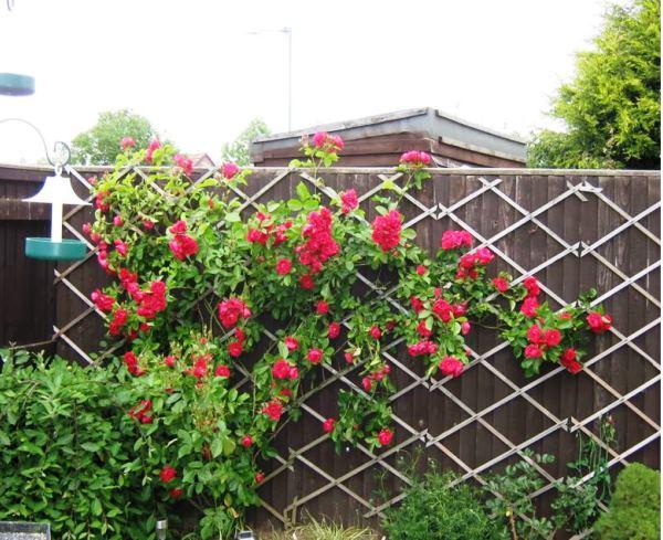 Розы на шпалере фото