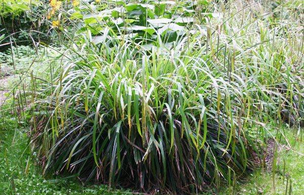 травы для сада фото 11