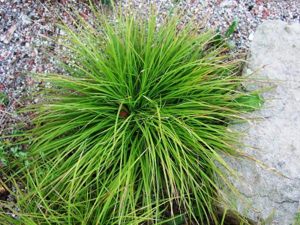 Трава для сада фото и названия