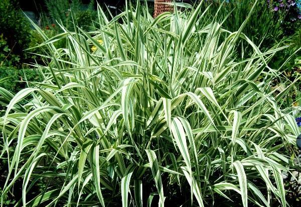 травы для сада фото 14