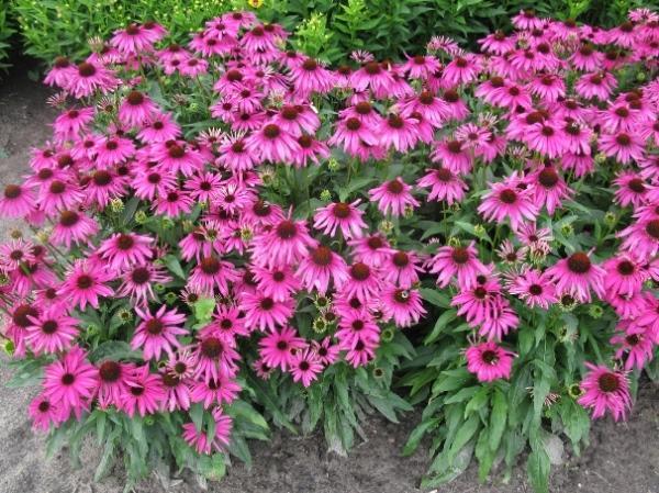 Лекарственные травы в саду фото и описание