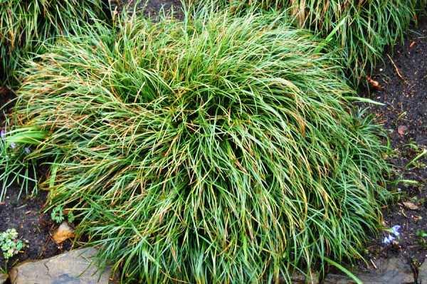 Многолетние травы для сада названия и фото