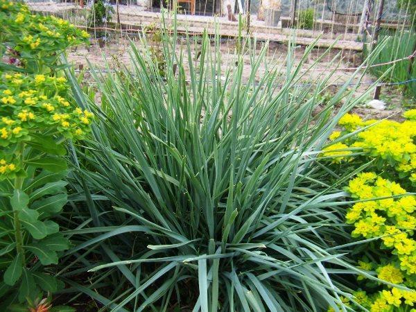 Декоративная трава для дачи фото и названия