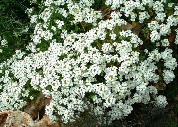 бордюрные цветы фото 4