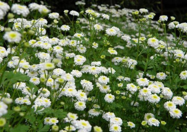 бордюрные цветы фото 8