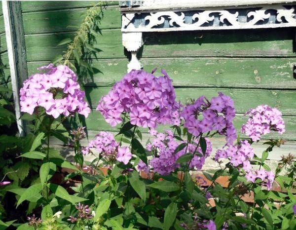 цветы в палисаднике фото 10