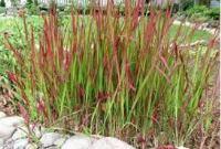 декоративные травы для сада