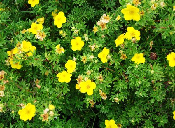 кустарники цветущие все лето фото 18