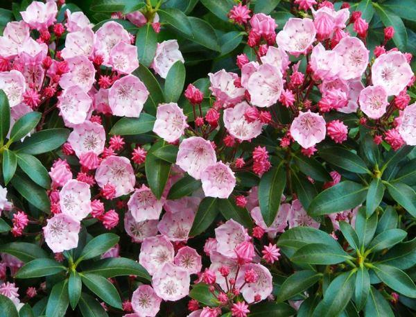 кустарники цветущие все лето фото 5