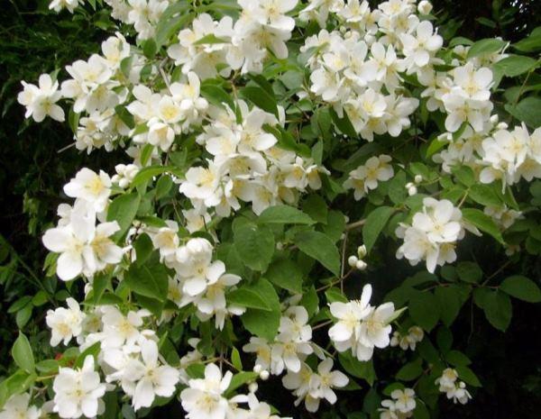 кустарники цветущие все лето фото 8