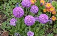 многолетние цветы для урала цветущие все лето фото и названия