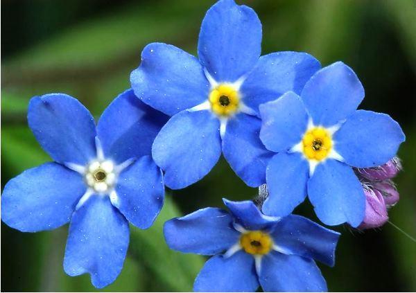 Растения для альпийской горки фото 16