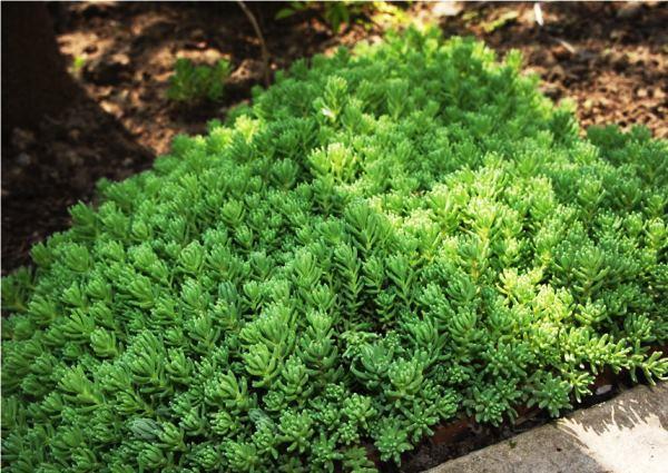Почвопокровные растения для альпийской горки фото и названия