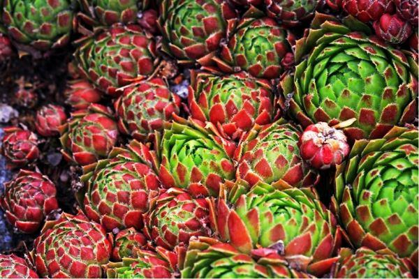 растения для альпийской горки фото 19