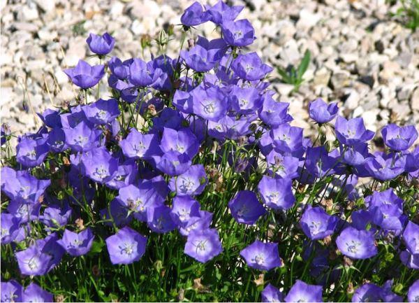 Растения многолетние для альпийской горки фото и названия