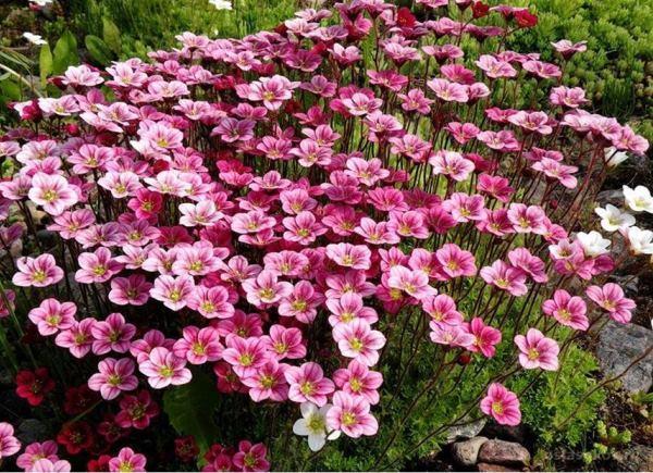 растения для альпийской горки фото 4