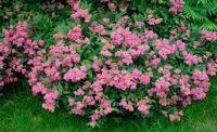 кустарники цветущие все лето зимостойкие