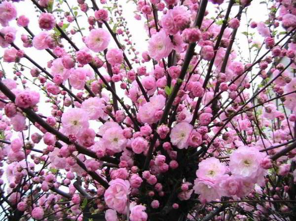 цветущие кустарники для сада фото 10