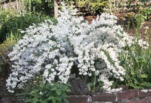 цветущие кустарники для сада фото 14