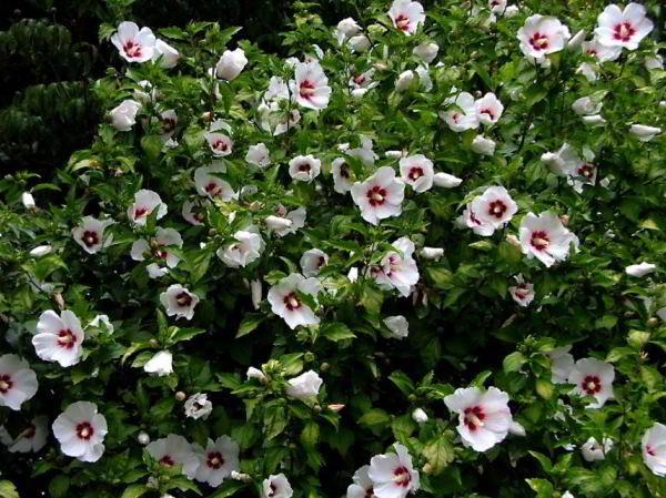 цветущие кустарники для сада фото 15
