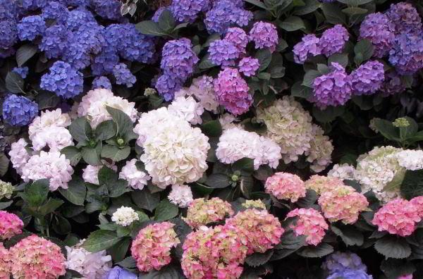 цветущие кустарники для сада фото 17