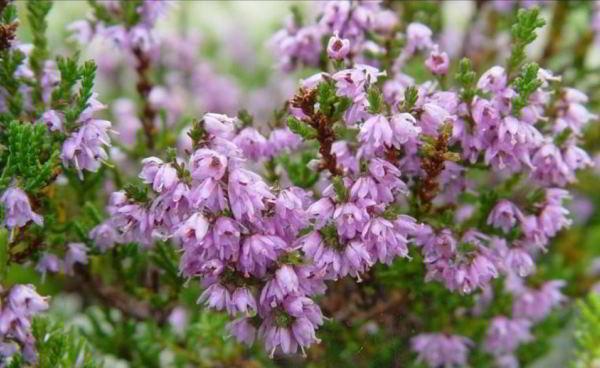 цветущие кустарники для сада фото 18