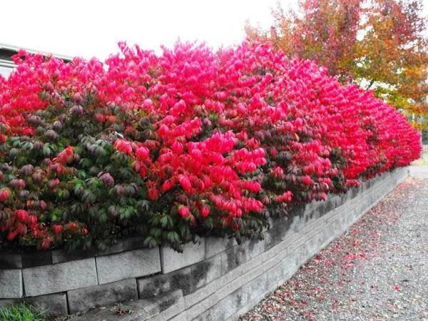 цветущие кустарники для сада фото 19