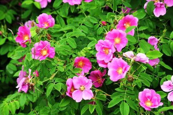 цветущие кустарники для сада фото 20