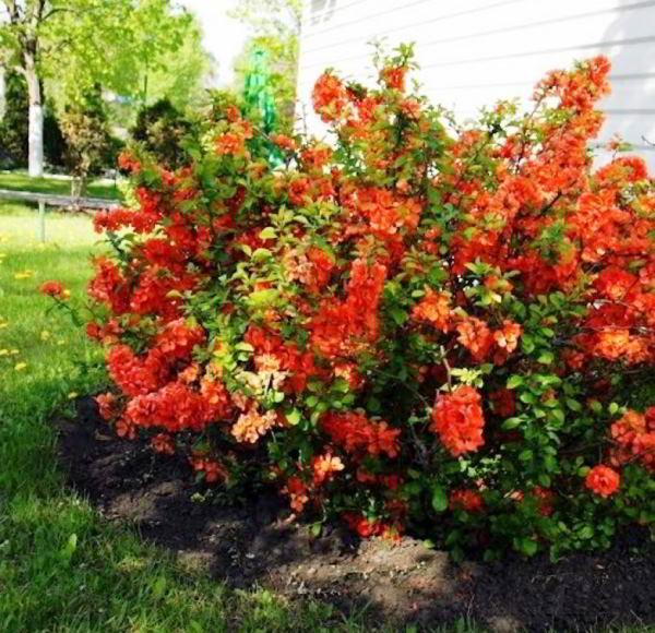 цветущие кустарники для сада фото 21