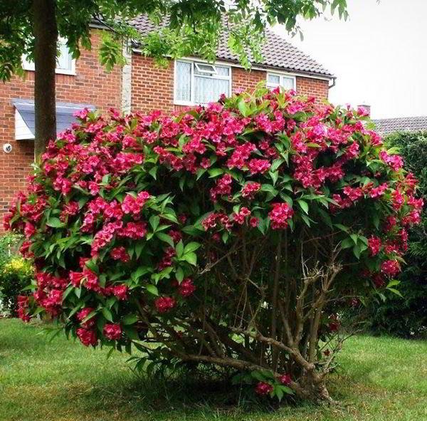 цветущие кустарники для сада фото 22