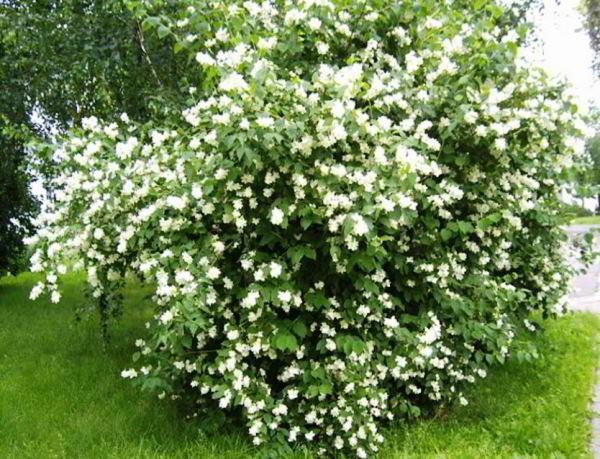 цветущие кустарники для сада фото 23