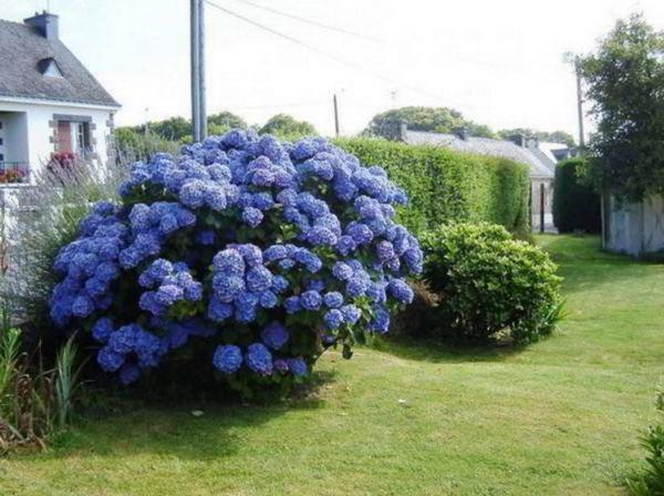 цветущие кустарники для сада фото 24